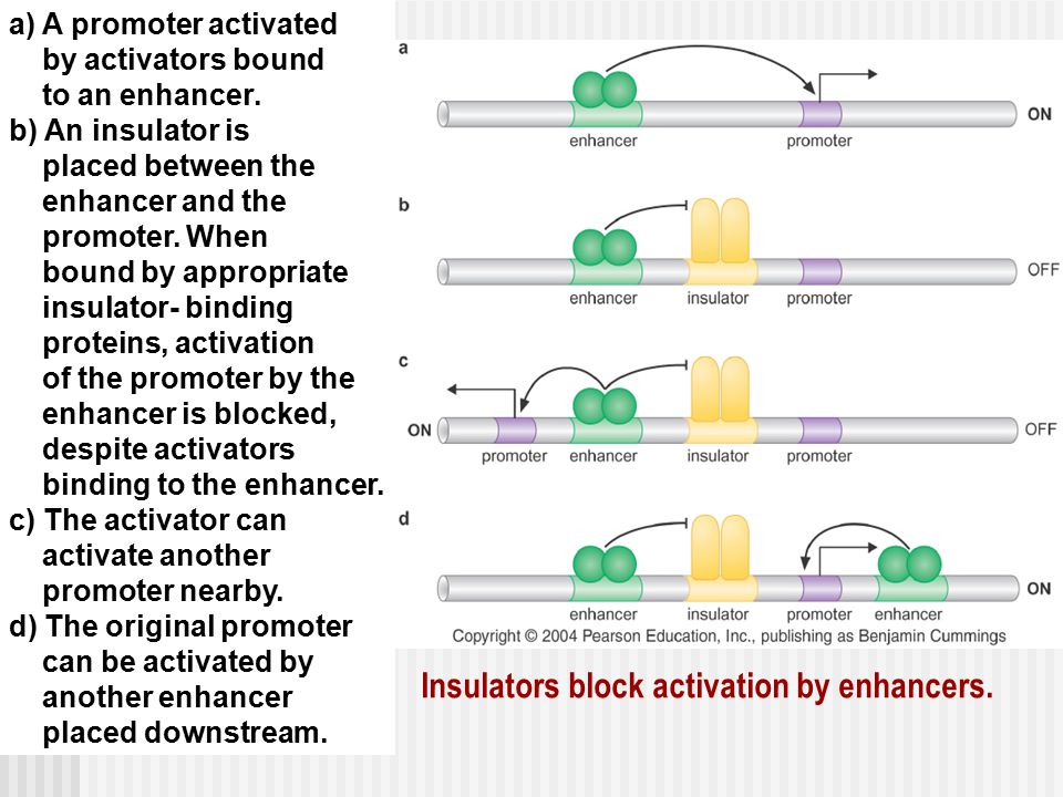 Insulators block activation by enhancers.
