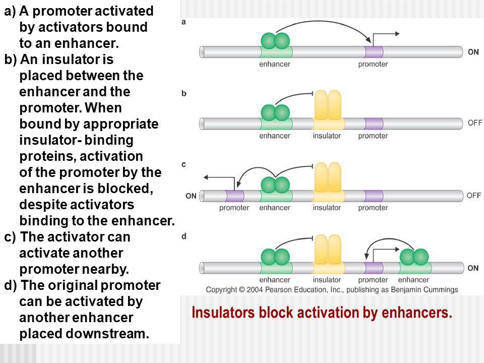 Insulators block activation by enhancers.