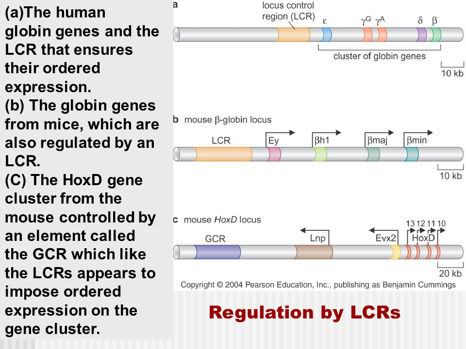 Regulation by LCRs The human globin genes and the LCR that ensures