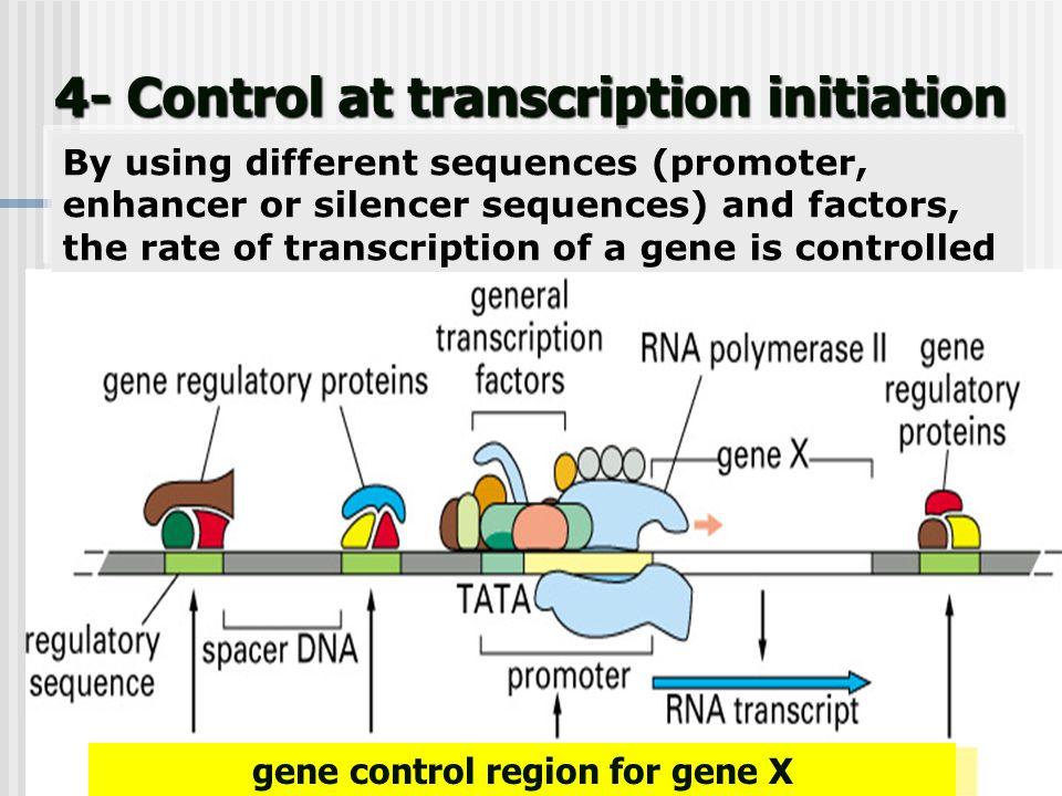 4- Control at transcription initiation gene control region for gene X