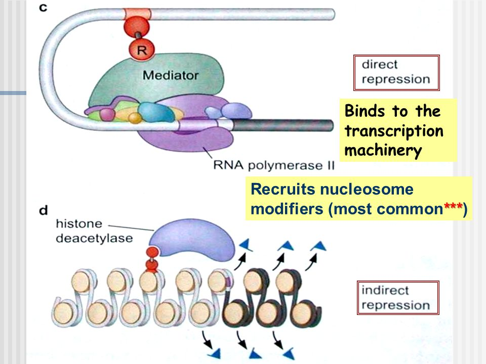 Binds to the transcription machinery