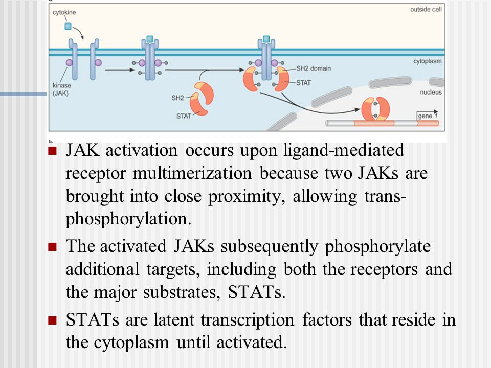 JAK activation occurs upon ligand-mediated receptor multimerization because two JAKs are brought into close proximity, allowing trans-phosphorylation.