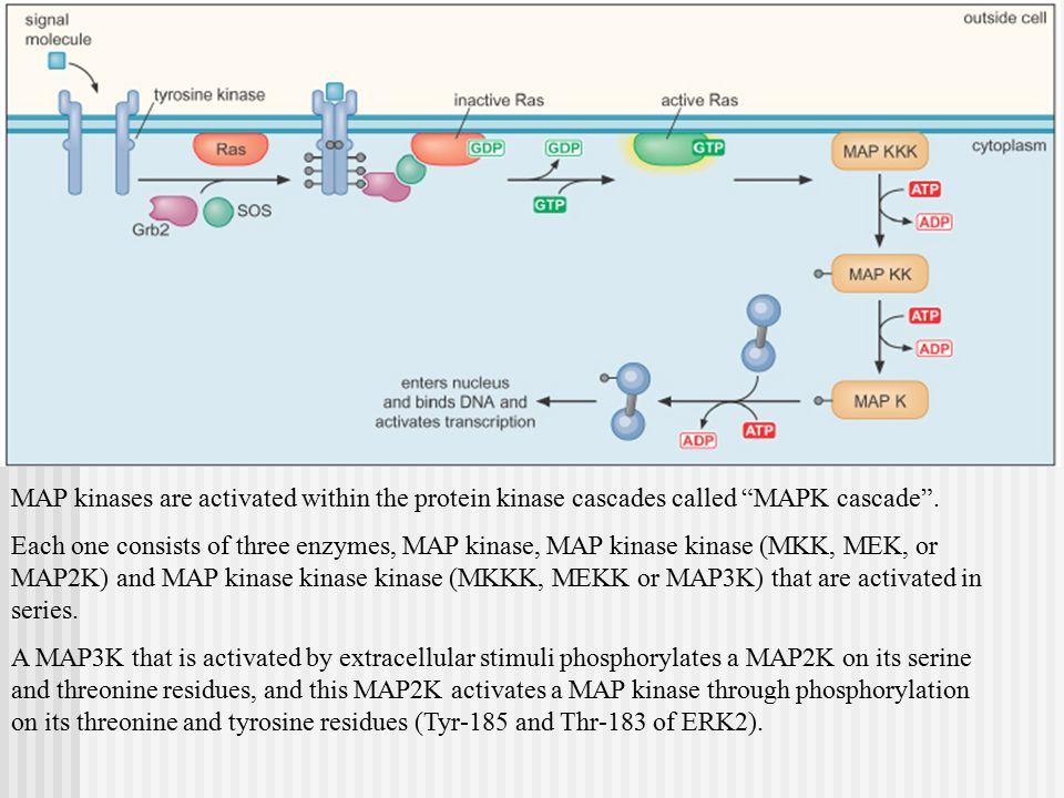 MAP kinases are activated within the protein kinase cascades called MAPK cascade .