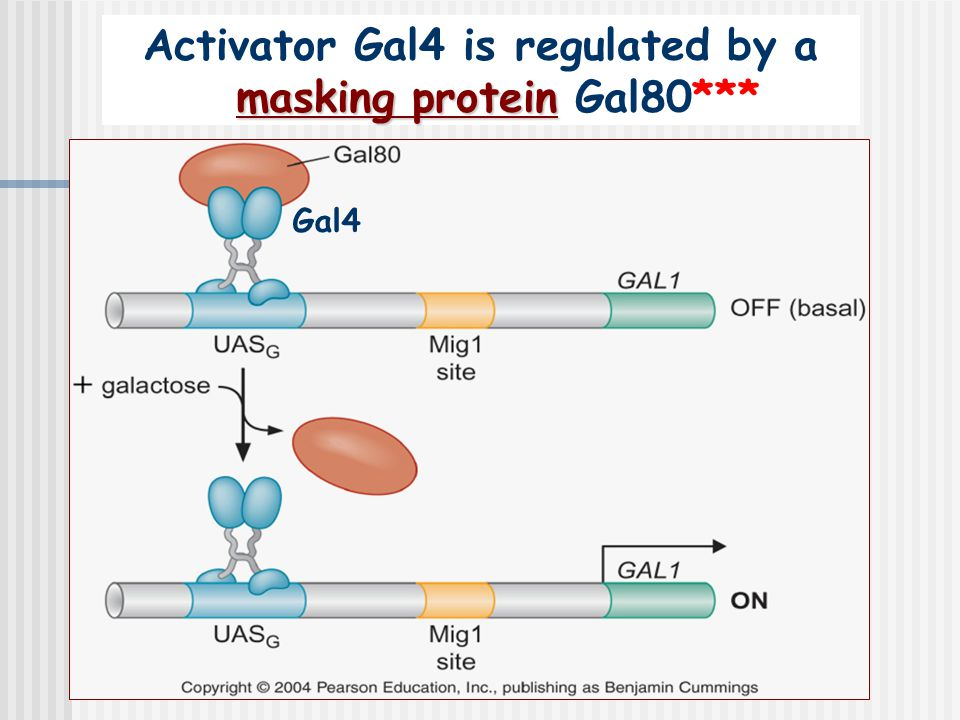 Activator Gal4 is regulated by a masking protein Gal80***