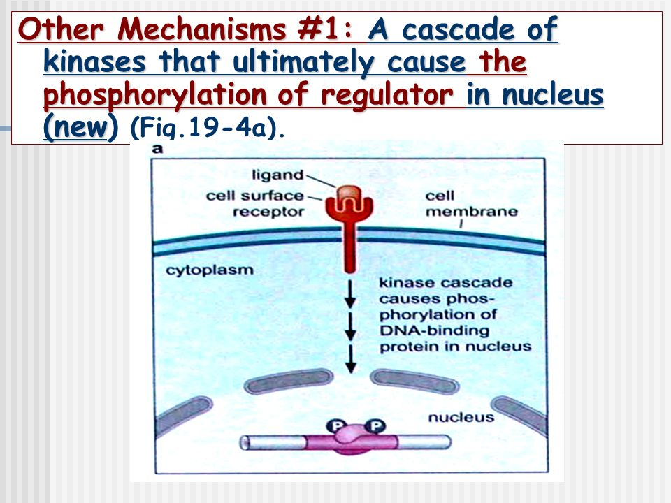 Other Mechanisms #1: A cascade of kinases that ultimately cause the phosphorylation of regulator in nucleus (new) (Fig.19-4a).