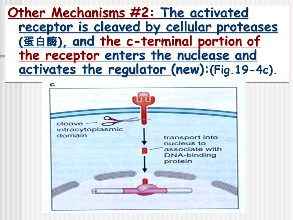 Other Mechanisms #2: The activated receptor is cleaved by cellular proteases (蛋白酶), and the c-terminal portion of the receptor enters the nuclease and activates the regulator (new):(Fig.19-4c).