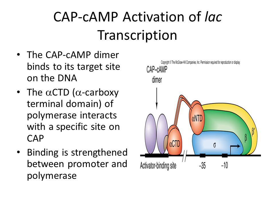 CAP-cAMP Activation of lac Transcription