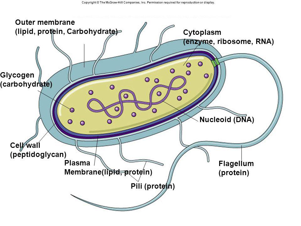 (lipid, protein, Carbohydrate) Cytoplasm (enzyme, ribosome, RNA)