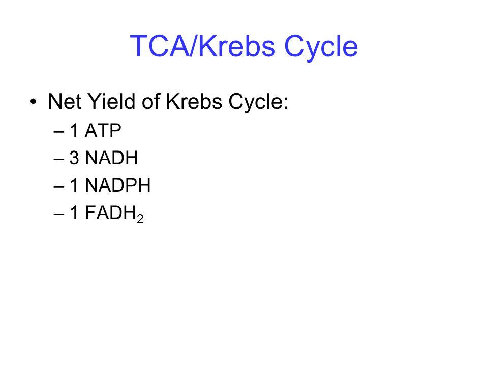 TCA/Krebs Cycle Net Yield of Krebs Cycle: 1 ATP 3 NADH 1 NADPH 1 FADH2