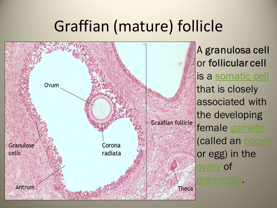 Graffian (mature) follicle