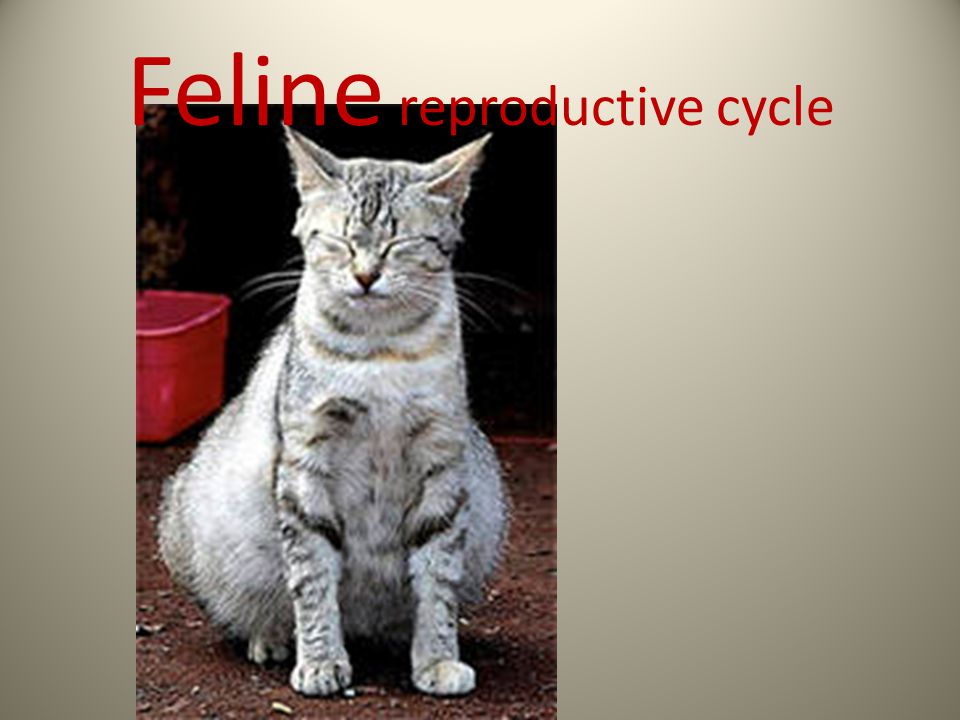Feline reproductive cycle