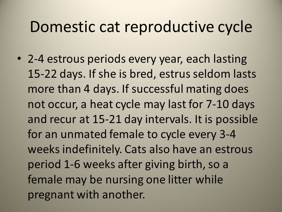 Domestic cat reproductive cycle