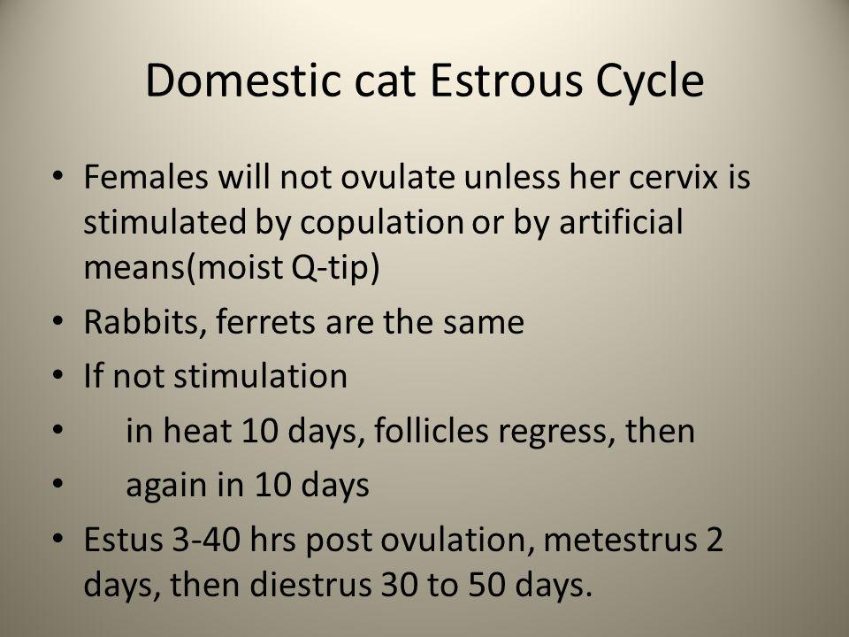 Domestic cat Estrous Cycle