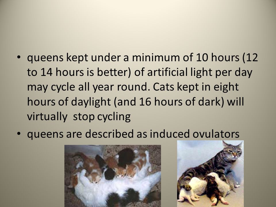 queens kept under a minimum of 10 hours (12 to 14 hours is better) of artificial light per day may cycle all year round. Cats kept in eight hours of daylight (and 16 hours of dark) will virtually stop cycling
