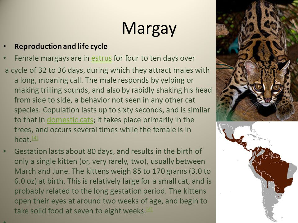 Margay Reproduction and life cycle