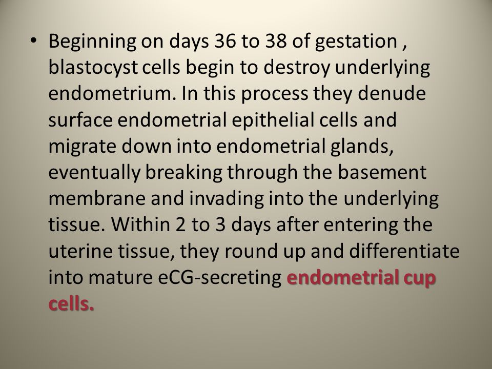 Beginning on days 36 to 38 of gestation , blastocyst cells begin to destroy underlying endometrium.