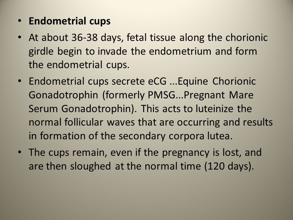 Endometrial cups At about 36-38 days, fetal tissue along the chorionic girdle begin to invade the endometrium and form the endometrial cups.