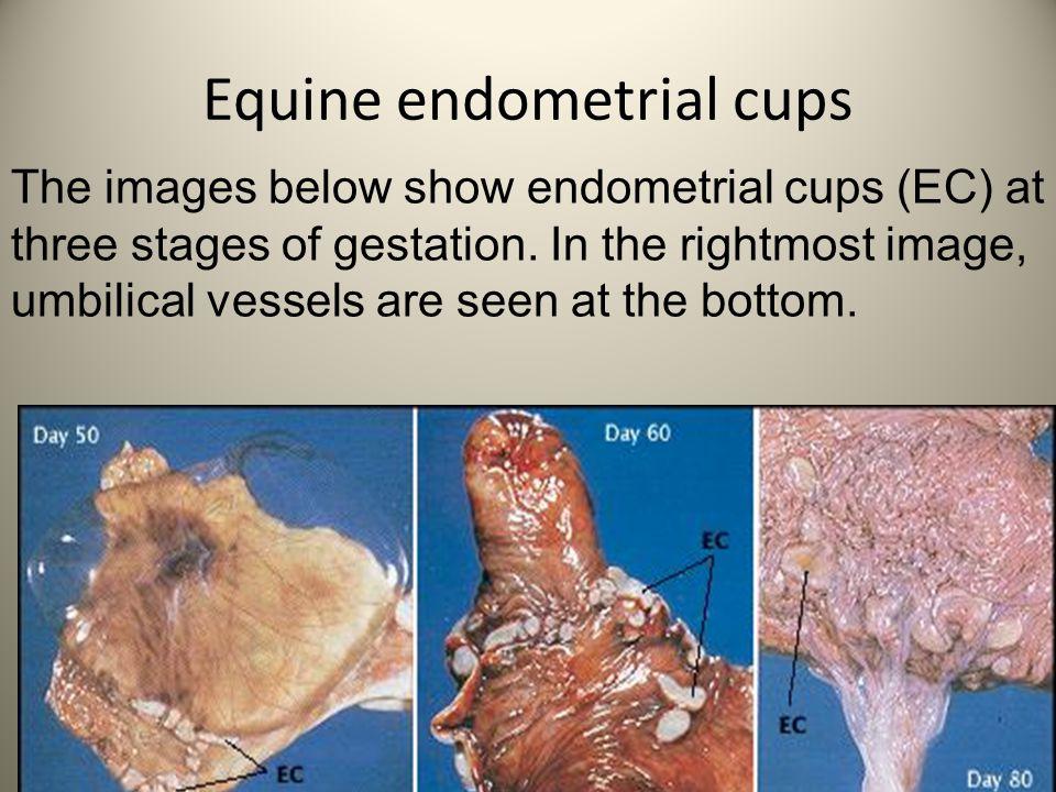 Equine endometrial cups
