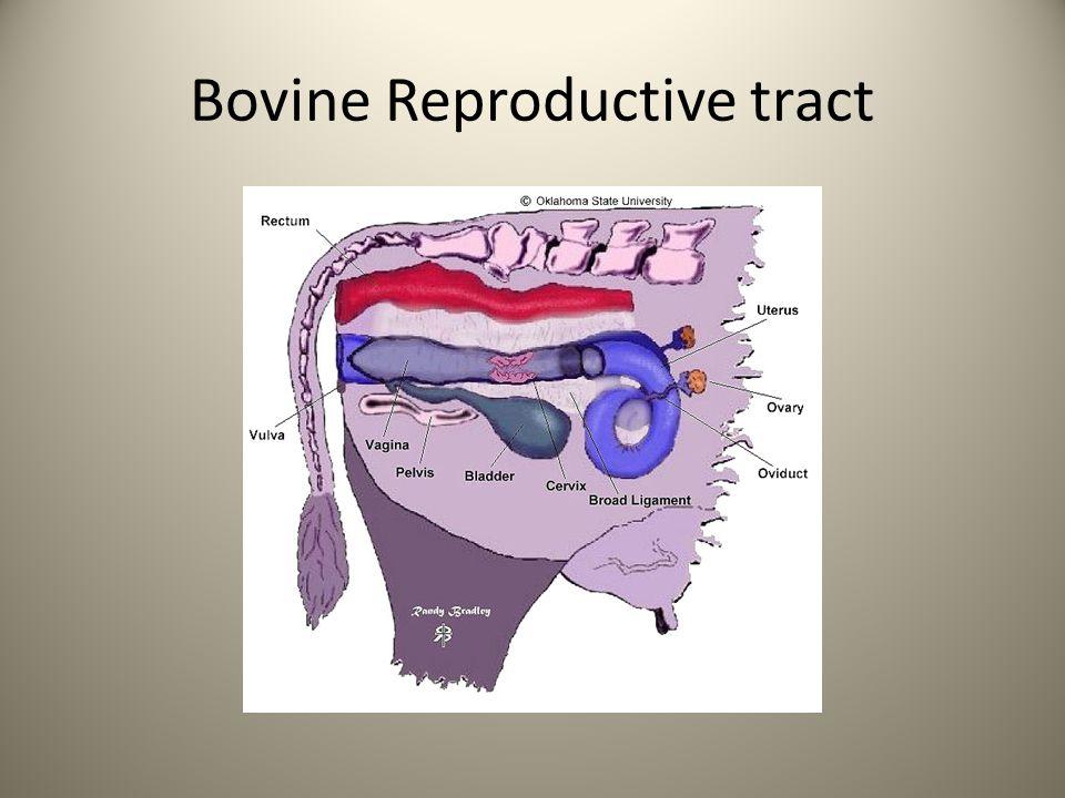 Bovine Reproductive tract
