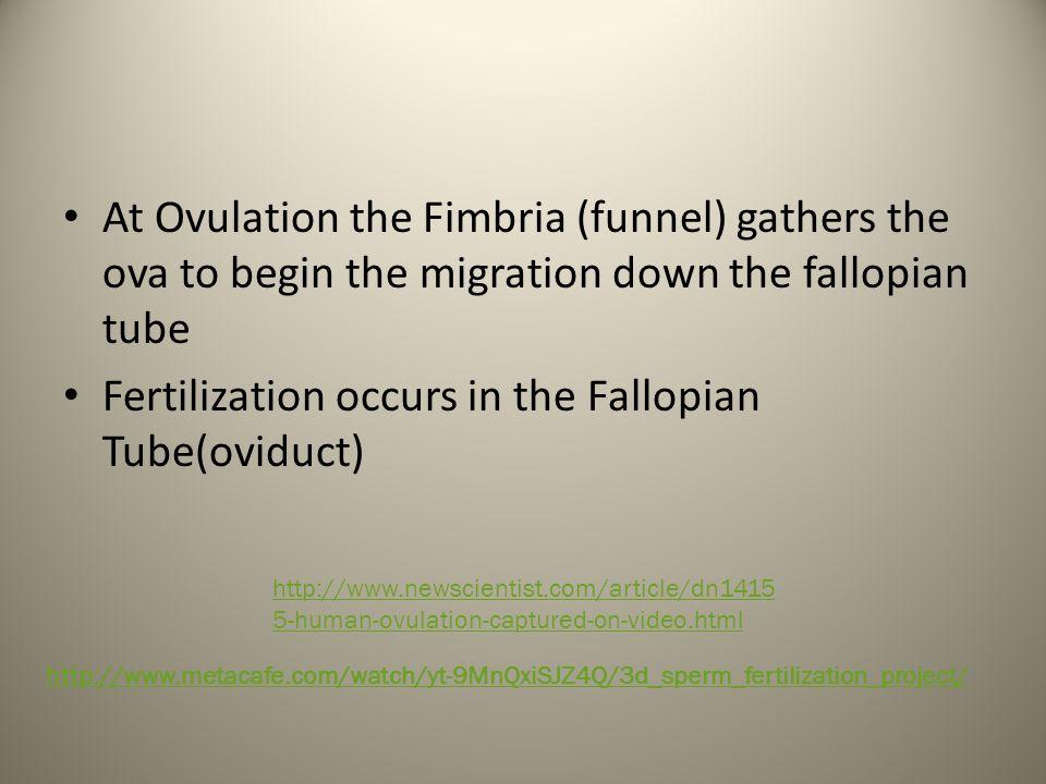 Fertilization occurs in the Fallopian Tube(oviduct)