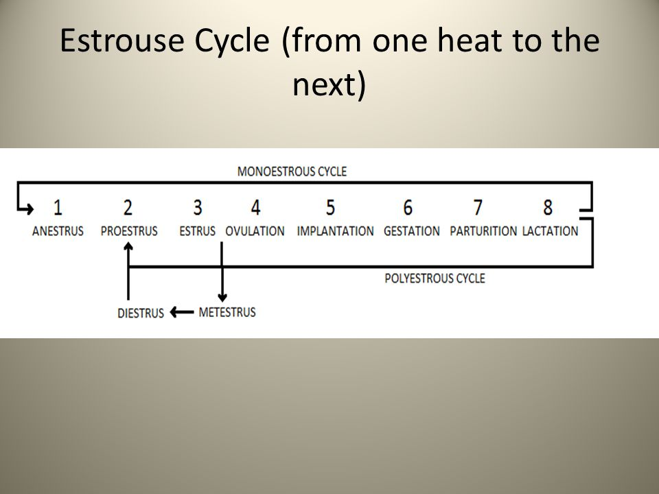 Estrouse Cycle (from one heat to the next)
