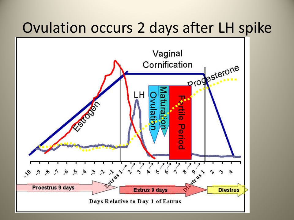Ovulation occurs 2 days after LH spike