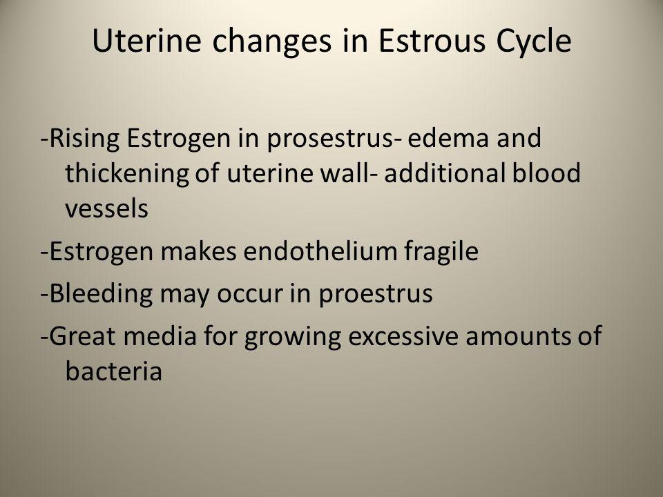 Uterine changes in Estrous Cycle