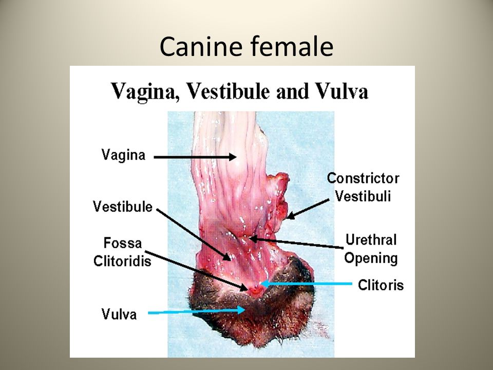 Canine female