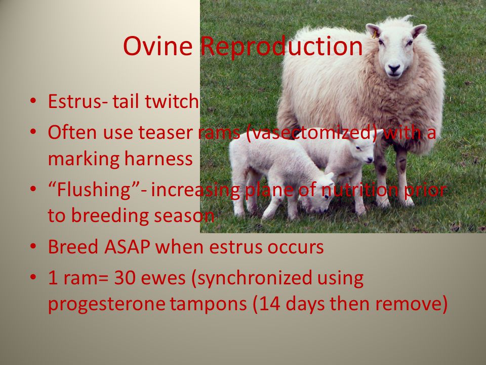 Ovine Reproduction Estrus- tail twitch