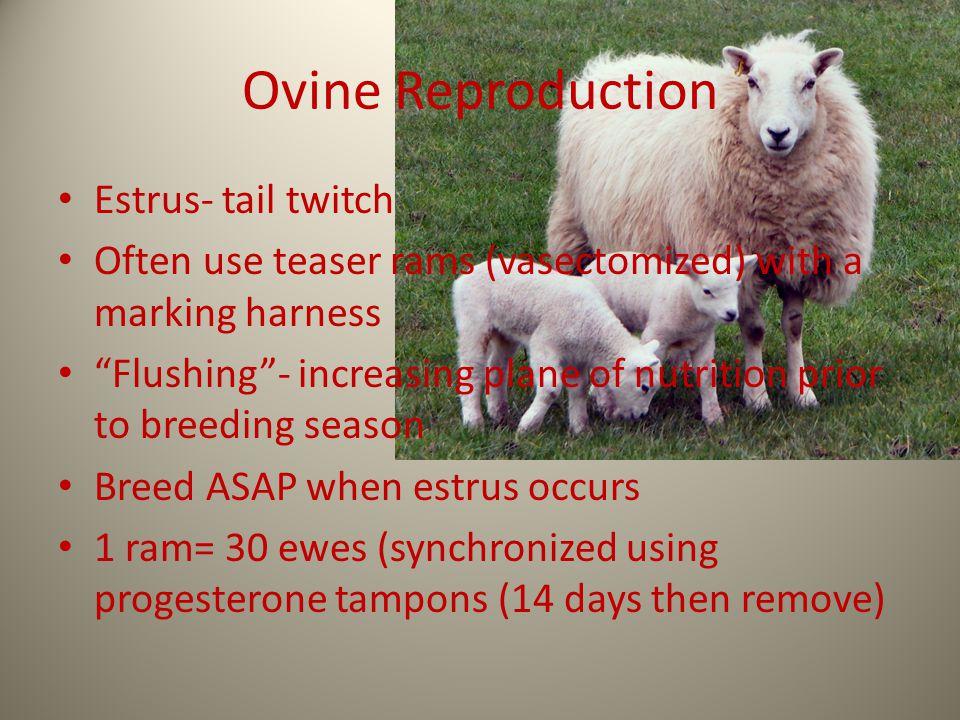 Ovine Reproduction Estrus- tail twitch