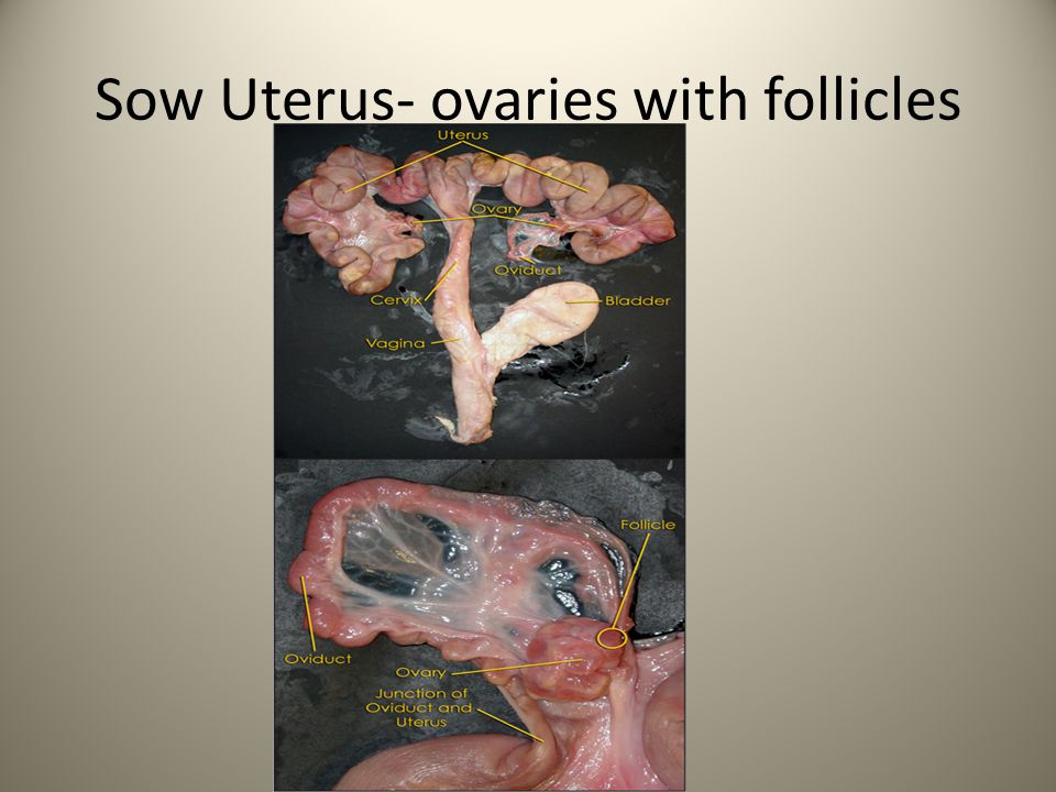 Sow Uterus- ovaries with follicles