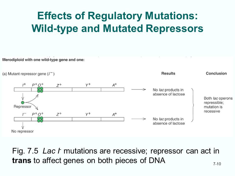 Effects of Regulatory Mutations: Wild-type and Mutated Repressors