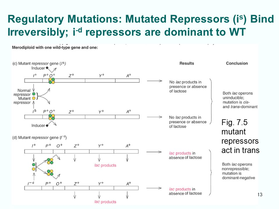Regulatory Mutations: Mutated Repressors (is) Bind Irreversibly; i-d repressors are dominant to WT