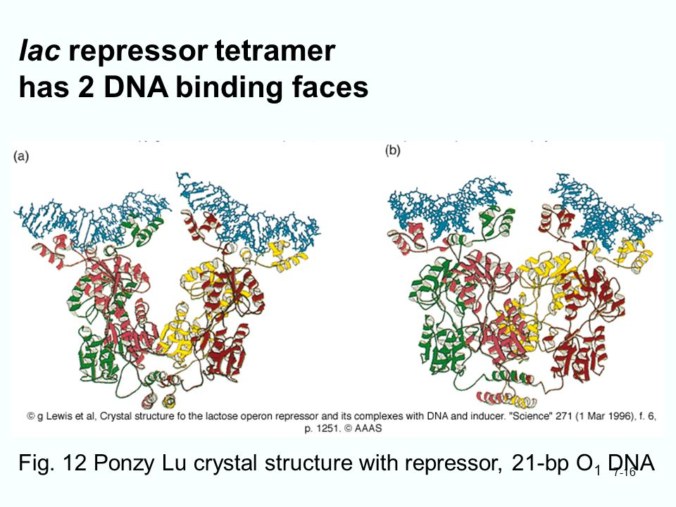 lac repressor tetramer has 2 DNA binding faces