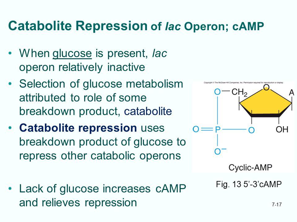 Catabolite Repression of lac Operon; cAMP