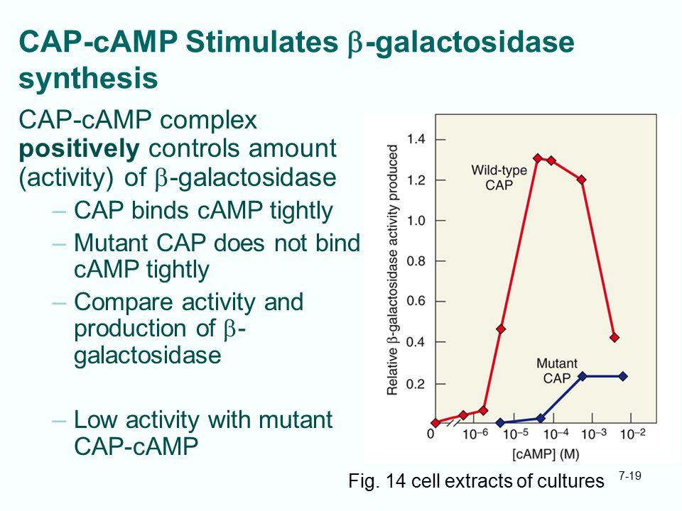 CAP-cAMP Stimulates b-galactosidase synthesis