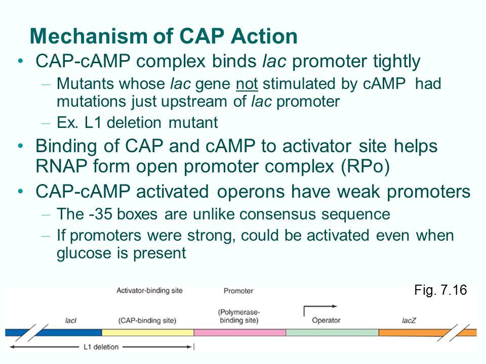 Mechanism of CAP Action