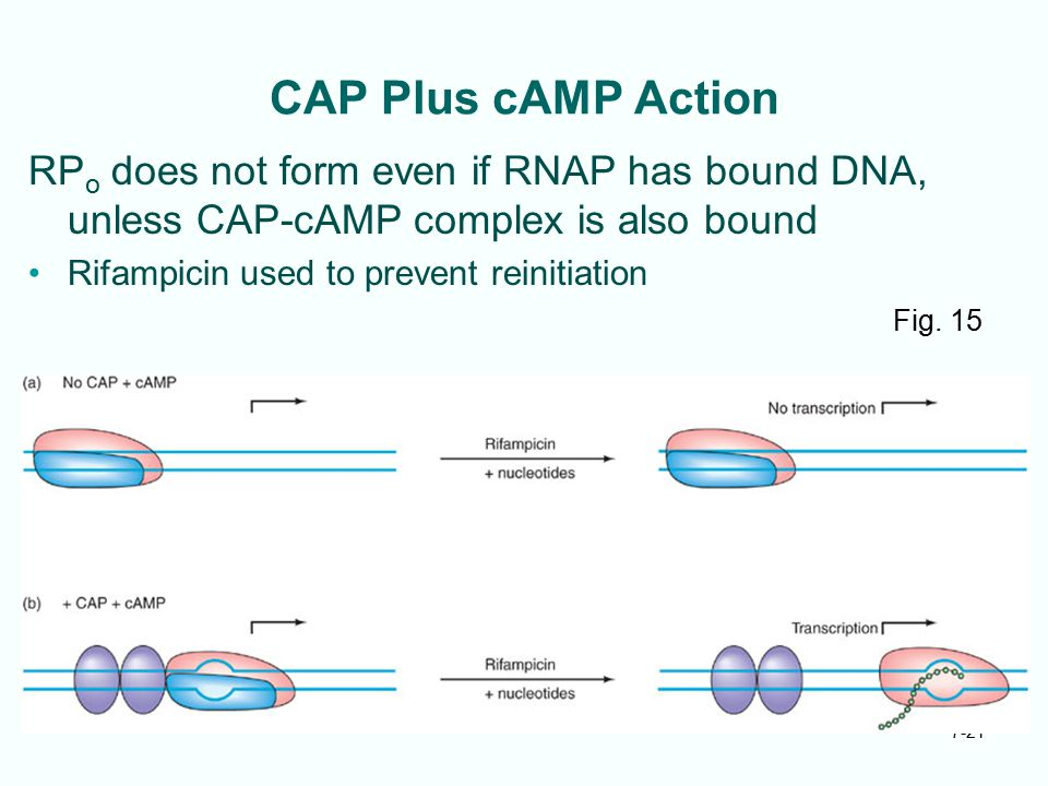 CAP Plus cAMP Action RPo does not form even if RNAP has bound DNA, unless CAP-cAMP complex is also bound.