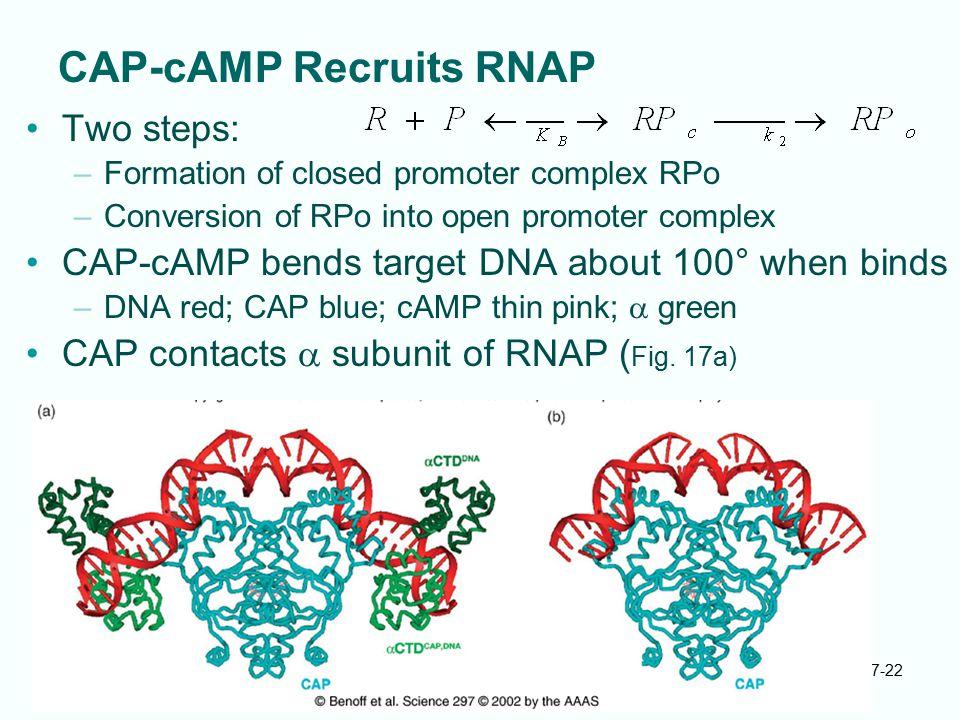 CAP-cAMP Recruits RNAP