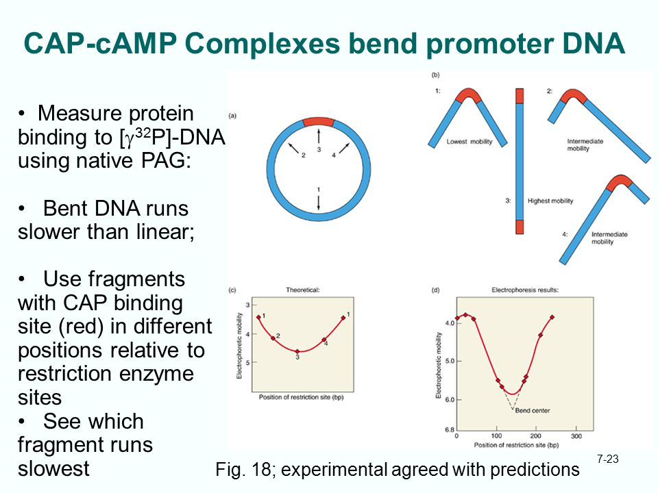 CAP-cAMP Complexes bend promoter DNA