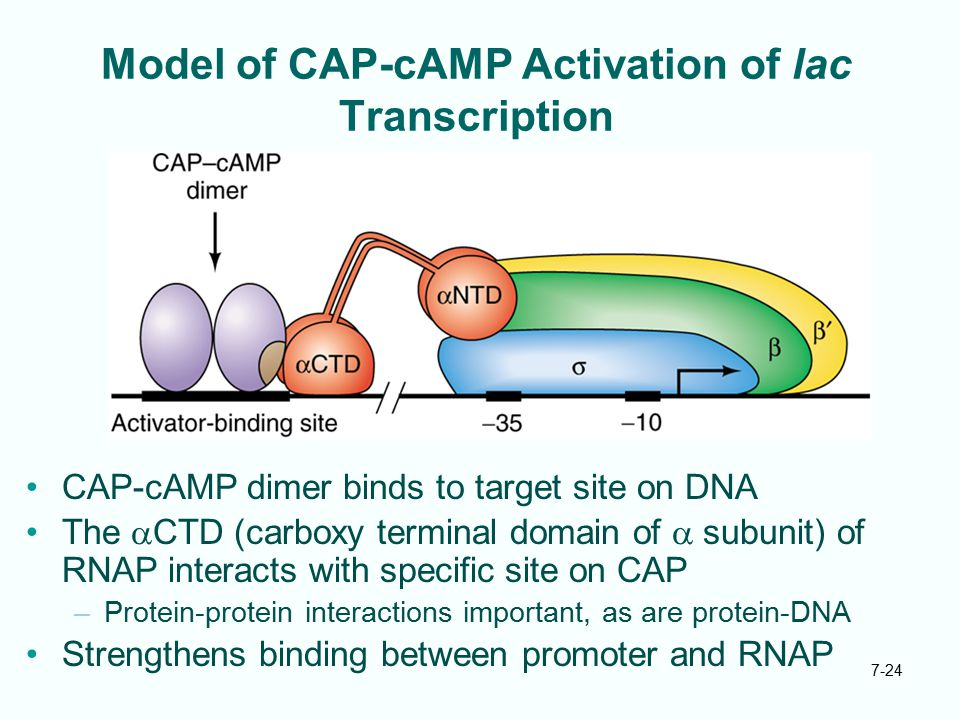 Model of CAP-cAMP Activation of lac Transcription