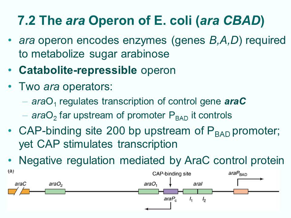 7.2 The ara Operon of E. coli (ara CBAD)