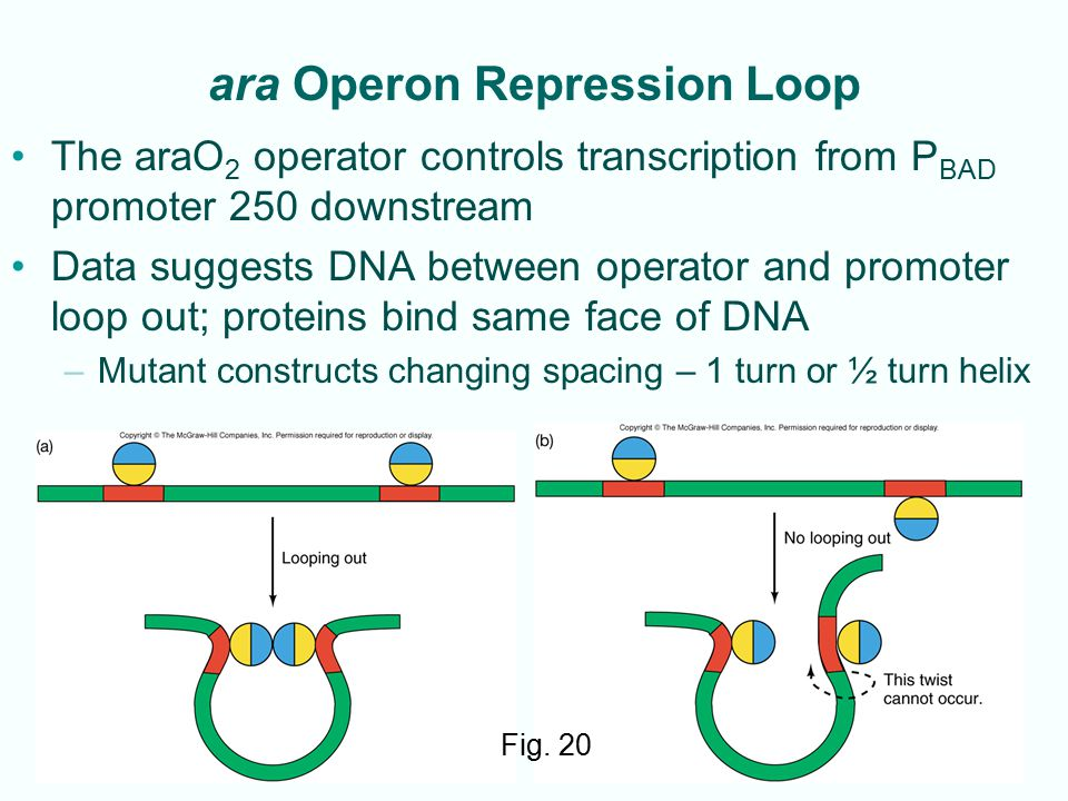 ara Operon Repression Loop