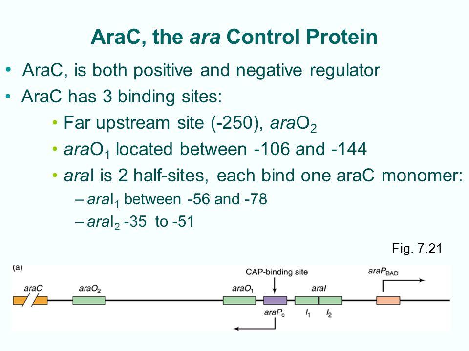 AraC, the ara Control Protein