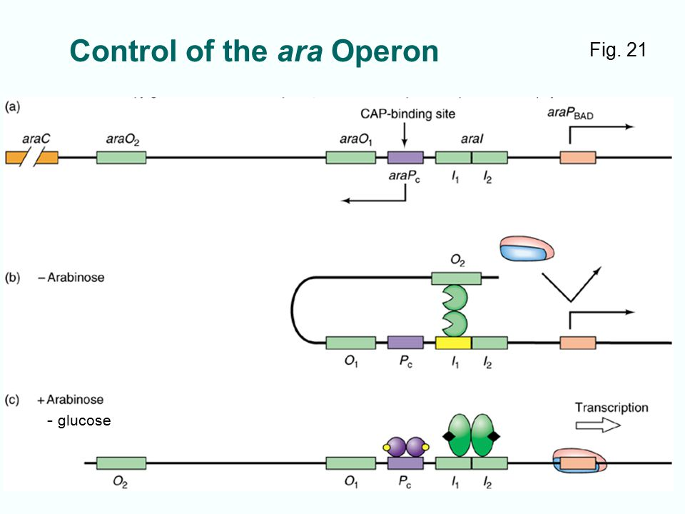 Control of the ara Operon