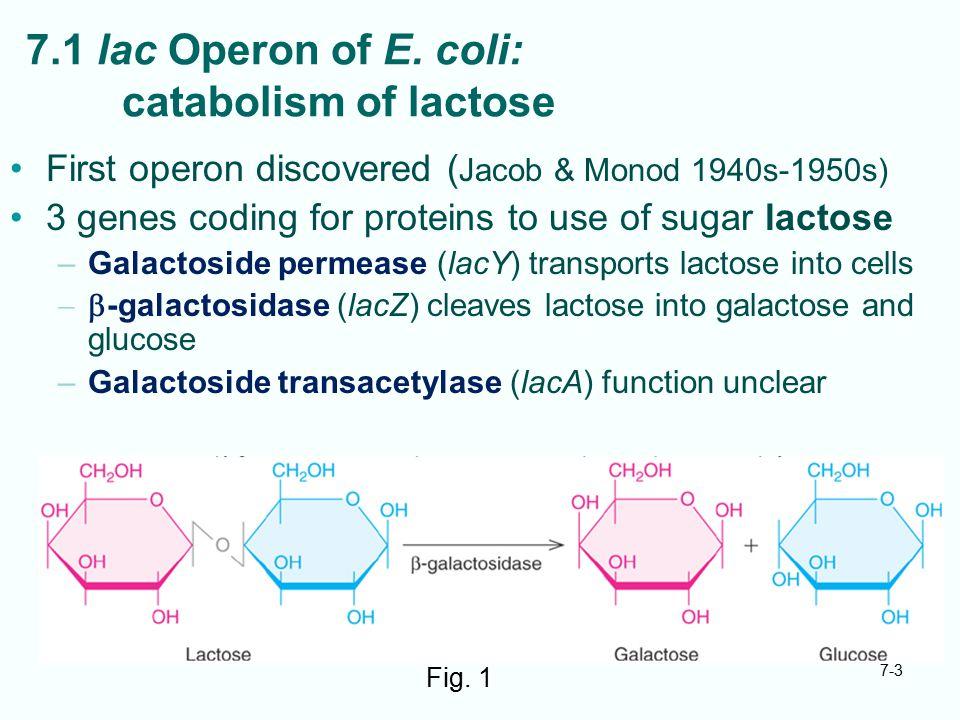 7.1 lac Operon of E. coli: catabolism of lactose