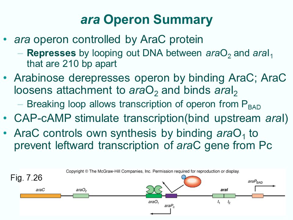 ara Operon Summary ara operon controlled by AraC protein