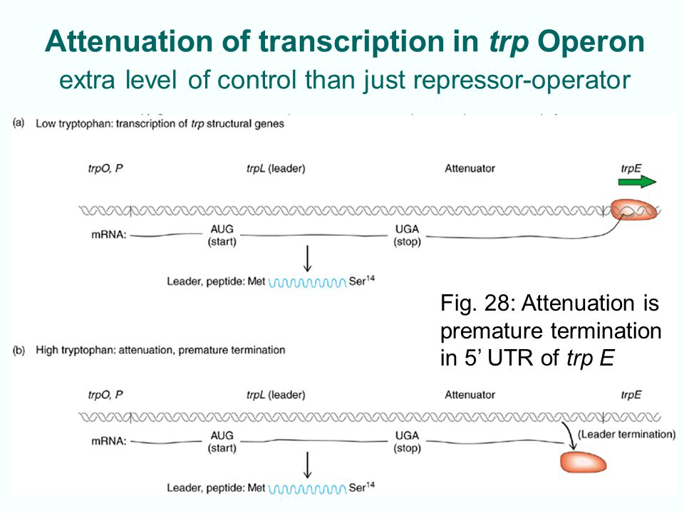 Attenuation of transcription in trp Operon extra level of control than just repressor-operator