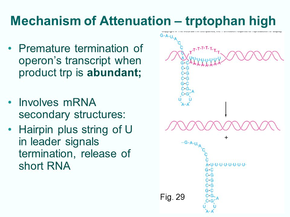 Mechanism of Attenuation – trptophan high