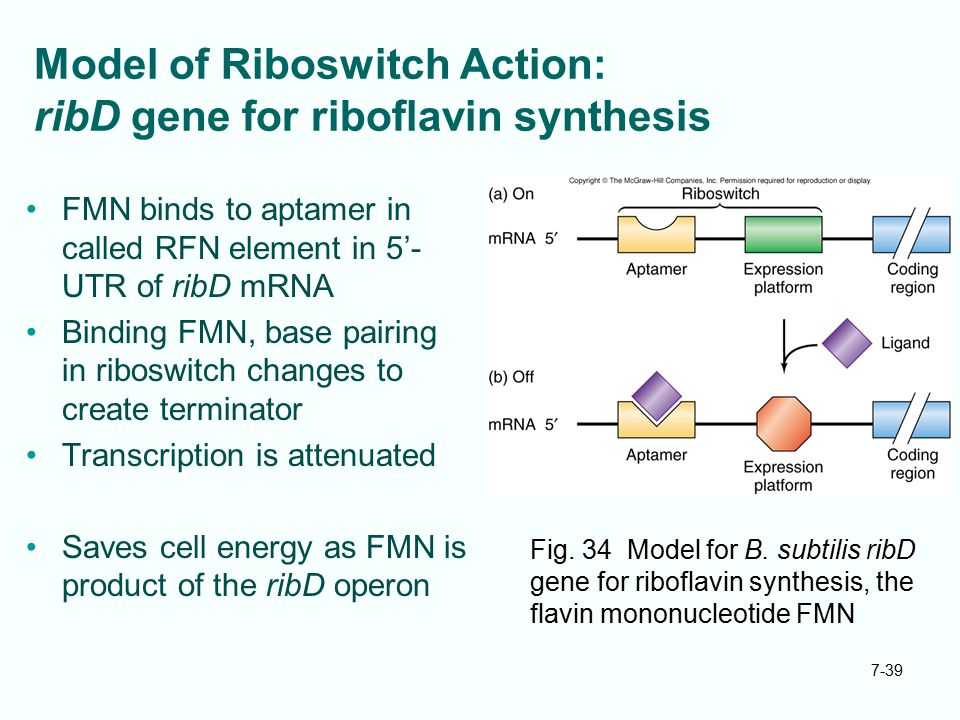 Model of Riboswitch Action: ribD gene for riboflavin synthesis